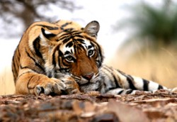 Corbett Tiger Safari Image